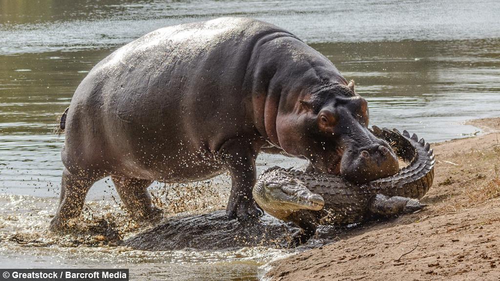 croc hippo
