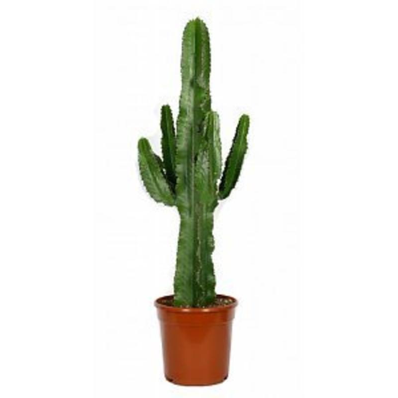 euphorbe cactus