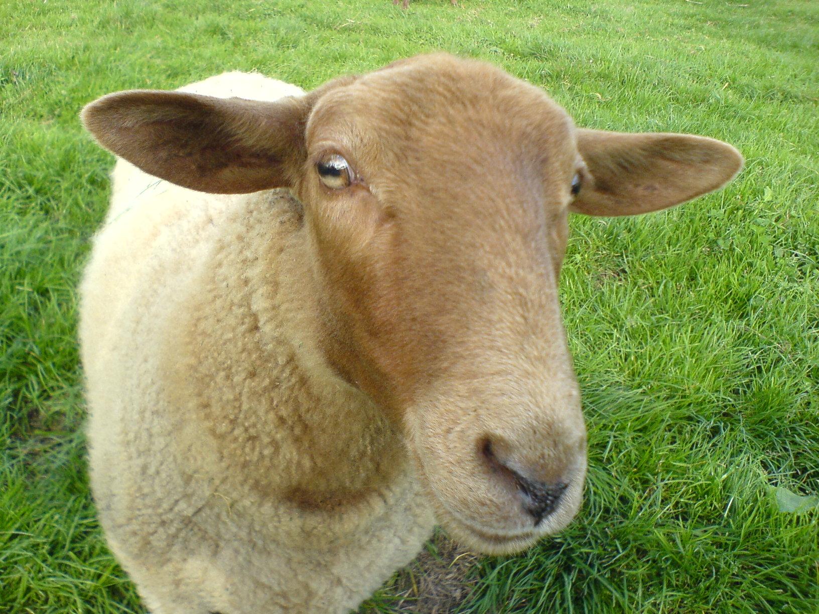 mouton